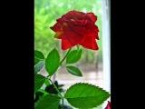 Домашние Красные розы.